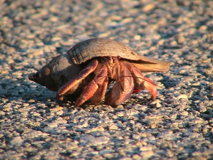 Crab on Long Key road 2