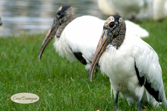 Wood Storks_Lake Morton_Carol Dunnigan