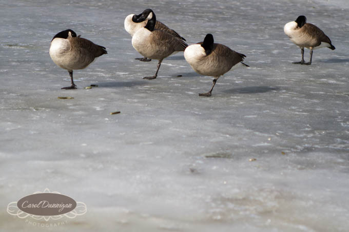 geese, images, greeley, colorado, photography, ice, frozen pond-2-2
