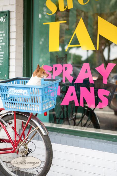dog, bike, image, photography, tanning salon, auburndale, florida, chihuahua, travel-2