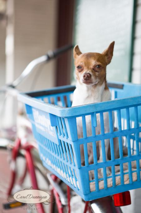 dog, bike, image, photography, tanning salon, auburndale, florida, chihuahua, travel