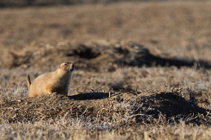 prairie dogs, images, carol dunnigan photography, photography, colorado, evans, wildlife-2