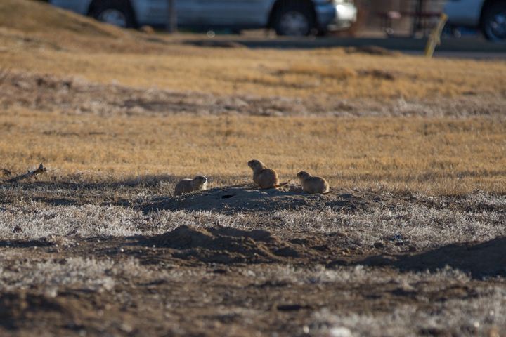 prairie dogs, images, carol dunnigan photography, photography, colorado, evans, wildlife-3