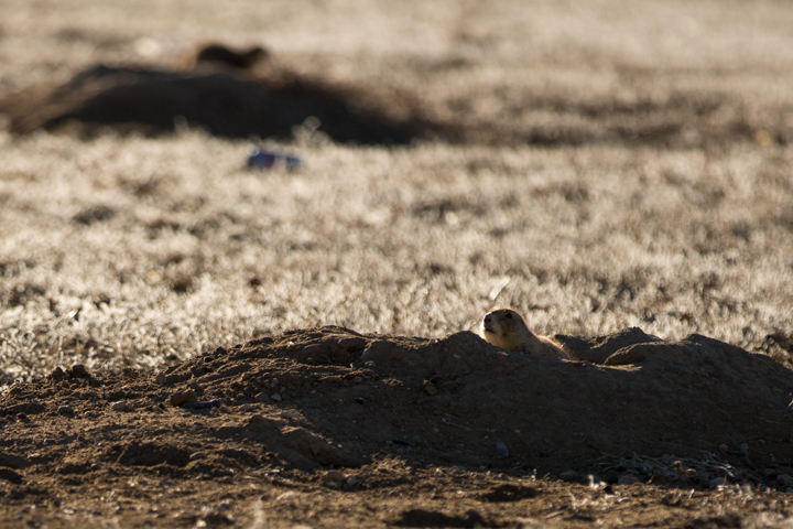 prairie dogs, images, carol dunnigan photography, photography, colorado, evans, wildlife-4