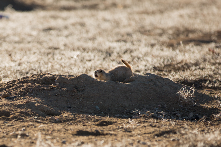 prairie dogs, images, carol dunnigan photography, photography, colorado, evans, wildlife-5