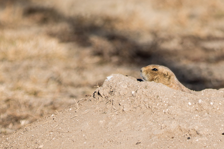 prairie dogs, images, carol dunnigan photography, photography, colorado, evans, wildlife-6