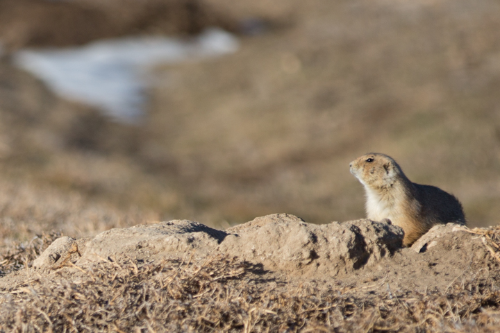 prairie dogs, images, carol dunnigan photography, photography, colorado, evans, wildlife-7