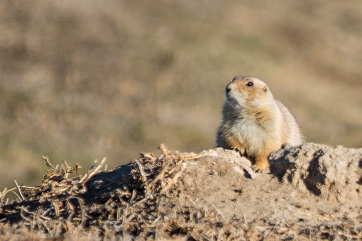 prairie dogs, images, carol dunnigan photography, photography, colorado, evans, wildlife-8
