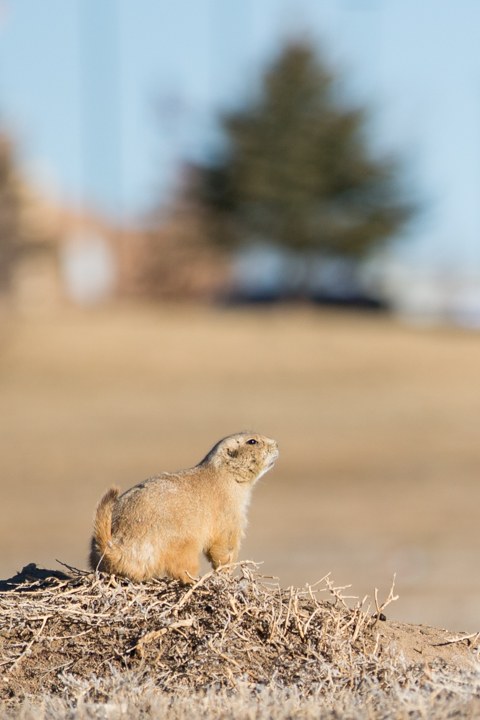 prairie dogs, images, carol dunnigan photography, photography, colorado, evans, wildlife-9
