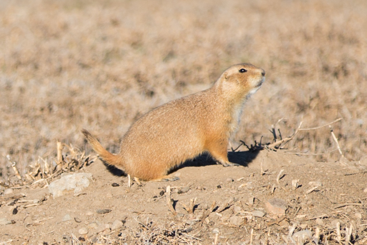 prairie dogs, images, carol dunnigan photography, photography, colorado, evans, wildlife