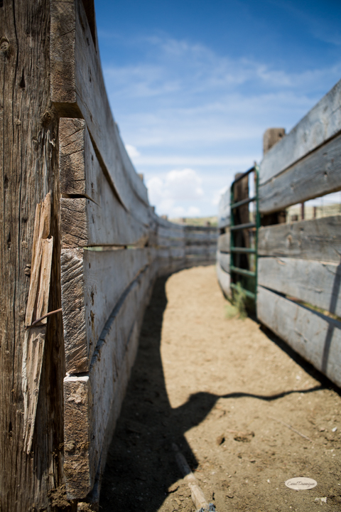 corral, images, wyoming, desered, cattle, photography, carol dunnigan photography-3