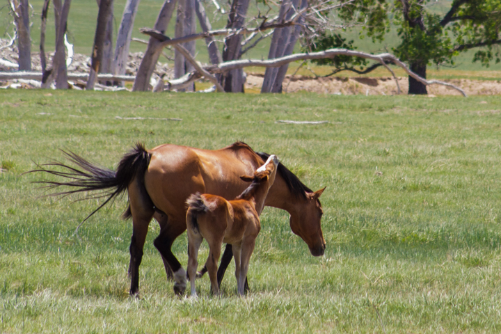 horses, wildlife, animals, images, photography, carol dunnigan photography, outdoors-2