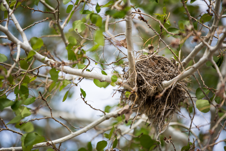 images, nest, tree, branches, colorado