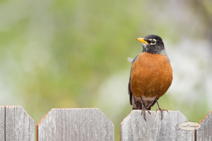 carol dunnigan photography, images, colorado, birds, robin_-2