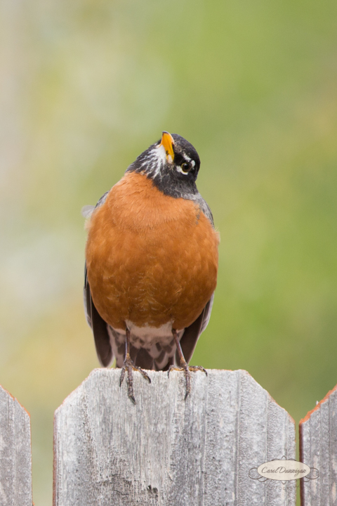 carol dunnigan photography, images, colorado, birds, robin_-3