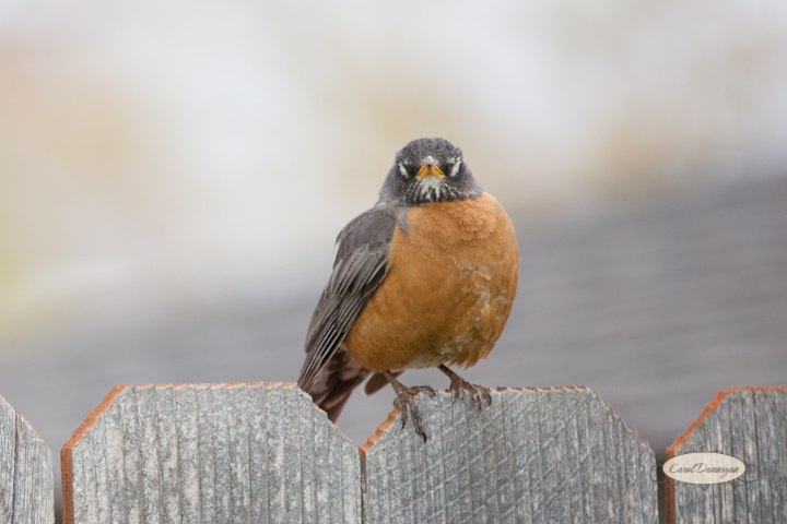 carol dunnigan photography, images, colorado, birds, robin_-4