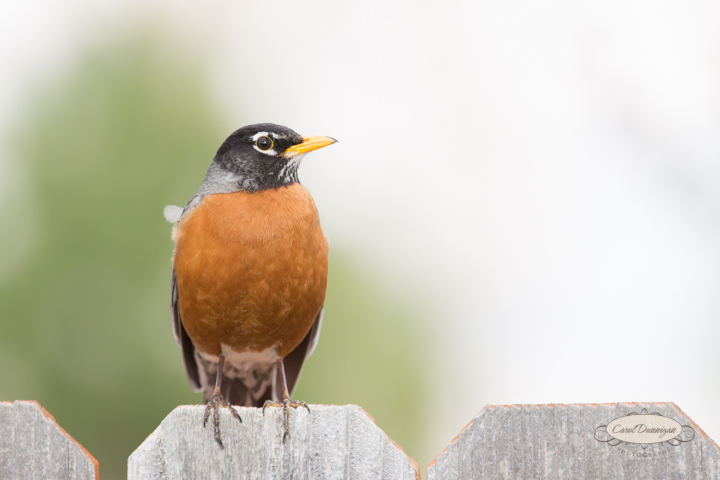 carol dunnigan photography, images, colorado, birds, robin_-5