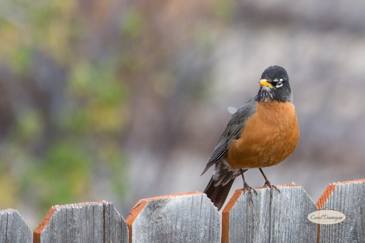 carol dunnigan photography, images, colorado, birds, robin_