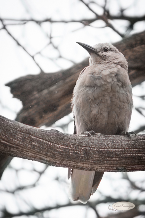 clarks's nutcracker, birds, rocky mountain national park, images, photography, mountains, carol dunnigan photography-102