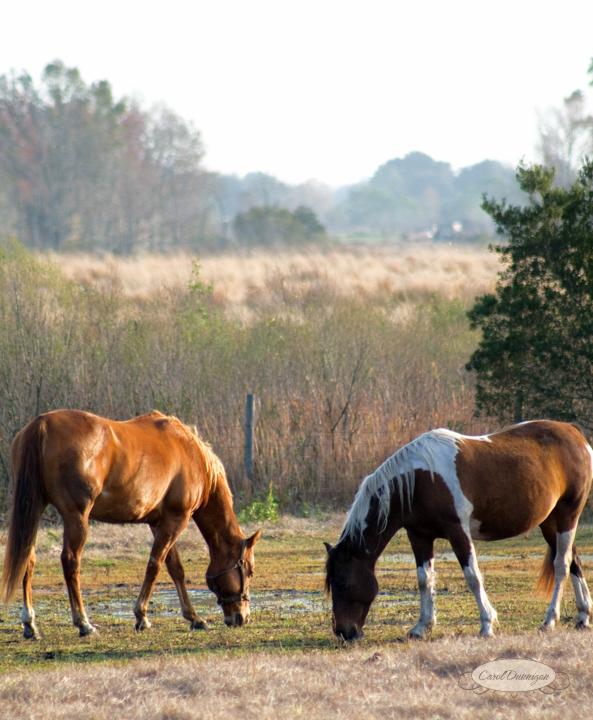 florida, photography, images, horses, nature, landscape, equestrian, carol dunnigan photography-1878