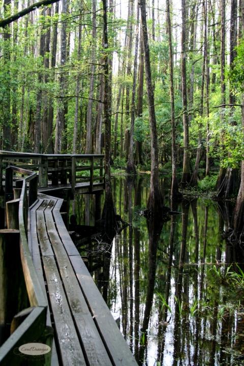Catwalk, Highlands Hammock State Park, FL
