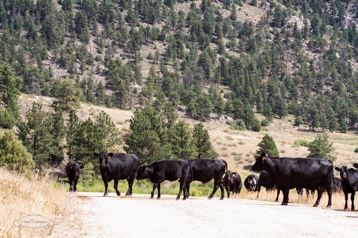 roosevelt national forest, offroading, offroad, red feather lakes, images, photography, nature, colorado, streams, forest, foothills, mountains, cows, open range-60