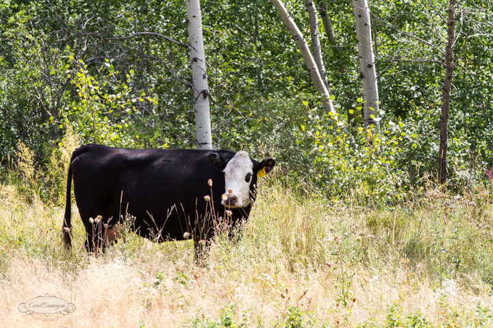 roosevelt national forest, offroading, offroad, red feather lakes, images, photography, nature, colorado, streams, forest, foothills, mountains, cows, open range-61